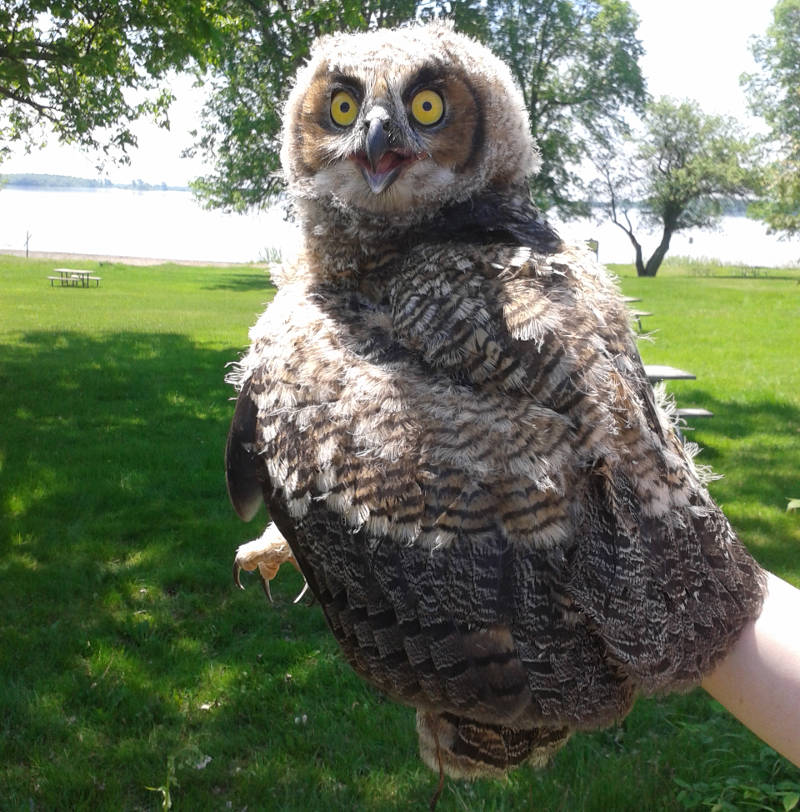 This juvenile Great Horned Owl was rescued May 28, 2015 after falling out of its nest. The bird is recovering at the Wild Bird Care Center in Ottawa. (Photo/St. Lawrence Parks Commission)