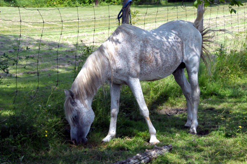 This male 'flea-bitten' gray horse in a field near Apple Hill, Ont. has drawn a lot of attention on Facebook over allegations of neglect. The Ontario SPCA told Cornwall Newswatch, photos circulating social media are outdated. The SPCA said there's an open file on this horse, its getting care from a vet and the owner is cooperating. The animal was eating grass and was trotting around the field during a visit by Cornwall Newswatch July 10, 2015. (Cornwall Newswatch/Bill Kingston)