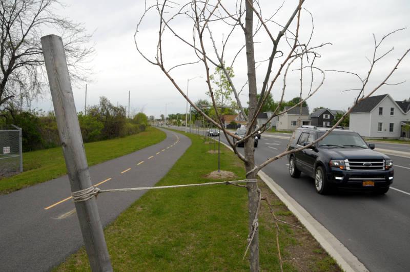 Dead Trees Brookdale Avenue May2719 E